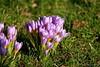 Sunday greetings -  Gruß zum Sonntag (Sockenhummel) Tags: britzergarten krokus park crocus lila sonne schatten frühling spring wiese gr grünberlin blumen blüten fuji xt10