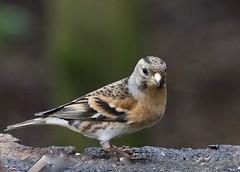 Brambling (Female) - Taken at Summer Leys Nature Reserve, Wollaston, Upper Nene Valley, Northants, UK (Ian J Hicks) Tags: