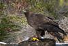 Golden Eagle (Jon David Nelson) Tags: goldeneagle aquilachrysaetos eagles birdsofprey raptors education centraloregon conservation highdesert