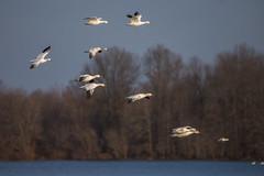 20180221-364 (Dustin Graffa) Tags: animals birds middlecreek places snowgeese snow geese migration spring bird birdinflight pennsylvania canon tamron 150600