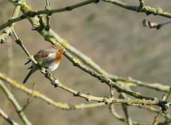 P1140659 (Guesscl) Tags: rougegorge oiseaux plumes couleurs verdure végétation arbres bec parcs