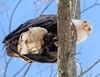 088A0415 (Confusion_Circle) Tags: 40 north bald dog eagle park