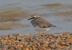JWL6956  Ringed Plover.. (jefflack Wildlife&Nature) Tags: ringedplover plover plovers seabirds shorebirds seashore countryside coastalbirds coastal coastline coast harbours estuaries estuary reservoirs waterways birds avian animal animals wildlife wildbirds waterbirds wetlands waders norfolk nature
