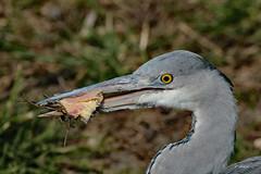 Young Heron (K.Verhulst) Tags: heron blauwereiger reiger birds bird vogels vogel greyheron ngc npc