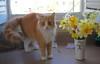 """Orange is my signature color."" (rootcrop54) Tags: jimmy orange tabby longhaired male cat mixed daffodils spring color flowers neko macska kedi 猫 kočka kissa γάτα köttur kucing gatto 고양이 kaķis katė katt katze katzen kot кошка mačka gatos maček kitteh chat ネコ bouquet cc100 cc200"