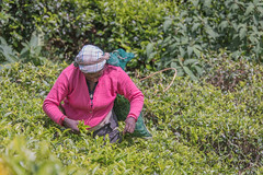 850_2500 (stephho2015) Tags: tea ceylon teaplantation srilanka