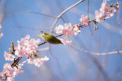 _DSC0717.jpg (plasticskin2001) Tags: mejiro sakura flower bird