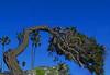 Shaggy (oybay©) Tags: lajolla lajollashores shores tree torreypine torrey pine ackward unusual tilt imbalanced weird nature natural protected beach sandiego san diego thejewel california calif ca
