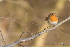 Rotkehlchen (danielkai.meyer) Tags: deutschland europa fahrland fahrländersee februar natur potsdam tiere winter rotkehlchen singvögel nikon d500 wildlife