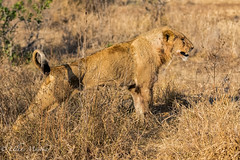 Young male Lion (mayekarulhas) Tags: southafrica krugernationalpark lion canon animal africa safari