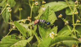 Stiretrus sp. - Predatory Stink Bug (Laporte, 1833)