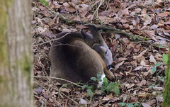 Roe Deer Sleeping (Terry Angus) Tags: deer roe doe norden wildlife animal mammal sleeping rochdale uk