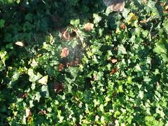 09-23-17 Dayton 06 spider web (Chicagoan in Ohio) Tags: dayton morningglories spiderwebs
