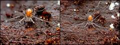 Male Harvestman (Bugldy99) Tags: animal arthropod arthropoda arachnid arachnida opiliones harvestman chelicerates chelicerata