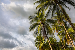 Coconut tree and sky background. (baddoguy) Tags: backgrounds beach beauty in nature blue cloud sky cloudscape coconut palm tree color image copy space day forest green group of objects horizontal island leaf low angle view no people nonurban scene outdoors photography rural sunlight thailand tranquility trat province trunk tropical climate pattern wind