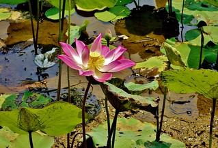 INDONESIEN, Im botanischen Garten von Bogor, Seerosenteich am Sommerpalast, 17096/9575