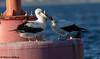 The Look of Love (Nazca Style) - Coronado, CA (bcbirdergirl) Tags: thirdwheel lovefest nazcaboobies nazcabooby paullehman sandiego sandiegocounty us usa california ca pacificocean coronadobay coronadoisland loewshotelboatrental crowncity thelookoflove nazcalove abacode5 rare rarity megarare megararity twitch boatride 2nazcaboobies pelagicbird seabird booby