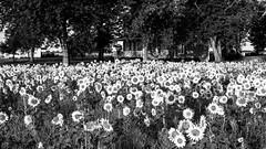 ile-270 (Agirard) Tags: sunflowers tournesols jardins champ field garden orleansisland landscape bw blackandwhite noiretblanc nb sony a7ii zeiss loxia235