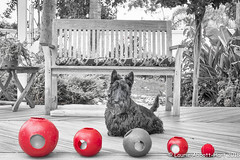 "20180210 Let the Games Begin 8677-Edit (Laurie2123) Tags: ddc dailydogchallenge laurieabbotthartphotography laurieturner laurie2123 maggie maggiemae missmaggie scottie scottieterrier scottiedog scottishterrier scotty scottydog blackscottie blackdog ""selective colorblack and white52 weeks 2018"