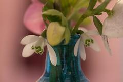 Some flowers in a blue bottle (Gisou68Fr) Tags: flowers snowdrops helleborus perceneige bouteille bottle bleu blue rose pink bokeh héllébores canoneos650d macromondays inabottle