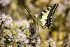 El macaón o mariposa rey ... Papilio machaon .... es una de las mariposas más espectaculares que tenemos por Andalucía. Existen multitud de especies muy bonitas, pero por su tamaño, colorido y formas ésta es quizás una de las más vistosas.  Reino:  Animal (EMferrer) Tags: lepidoptera mariposasespaña fotografiamacro macrobrilliance mariposa insectsinstagram mariposas insectos insecto topmacro lepidoptero naturelovers mariposarey butterfly macrophotograph macrofotografia macaon mscaon papilio insect macrocaptures lepidopteros macrobutterfly papiliomachaon bestmacro mariposadiurna macrofoto distrysia macroshot