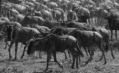 Slowly Returning From Africa (AnyMotion) Tags: bluewildebeest commonwildebeest whitebeardedwildebeest weisbartgnu streifengnu blauesgnu connochaetustaurinus antelope antilope trek wanderung bokeh 2018 anymotion ndutu ngorongoroconservationarea tanzania tansania africa afrika travel reisen animal animals tiere nature natur wildlife 7d2 canoneos7dmarkii bw blackandwhite sw