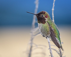 Anna's Hummingbird (Becky Matsubara) Tags: anhu annashummingbird avian bird birds california calypteanna contracostacounty hummingbird nature outdoors richmond richmondmarina wildlife