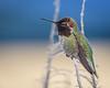 Anna's Hummingbird (Becky Matsubara) Tags: anhu annashummingbird avian bird birds california calypteanna contracostacounty hummingbird nature outdoors richmond richmondmarina wildlife