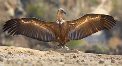 Griffon vulture (Zahoor-Salmi) Tags: griffon vulture zahoorsalmi salmi wildlife pakistan wwf nature natural canon birds watch animals bbc flickr google discovery chanals tv lens camera 7d mark 2 beutty photo macro action walpapers bhalwal punjab
