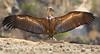 Griffon vulture (Zahoor-Salmi) Tags: griffon vulture zahoorsalmi salmi wildlife pakistan wwf nature natural canon birds watch animals bbc flickr google discovery chanals tv lens camera 7d mark 2 beutty photo macro action walpapers bhalwal punjab