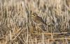 Horned Lark (chuck.mell) Tags: easternwashington hornedlark
