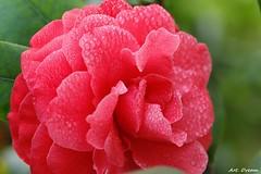 _01A8191 (Dream Delivered (Dreamer.Thanks for +6.000.000 vi) Tags: camellia flower photosandcalendar