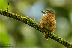 Barred Puffbird (Nystalus radiatus) (Glenn Bartley - www.glennbartley.com) Tags: andes animal animalia animals aves avian barredpuffbirdnystalusradiatus bird birdwatching birds colombia glennbartley nature neotropical southamerica wildlife