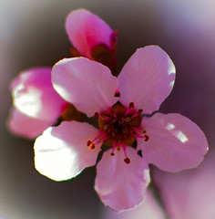 Blossomed (richardlujan) Tags: closeup flower blossomed macro pink pedals red bokeh outdoors nature budding flowers
