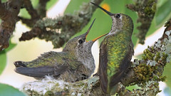 Anna Hummingbird Parent with Youngster (photosauraus rex) Tags: bird hummingbird anna annahummingbird calypteanna