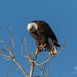 Posing Bald Eagle thumbnail