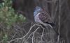 bar-shouldered dove (Geopelia humeralis)-7080 (rawshorty) Tags: rawshorty birds nsw australia portmacquarie