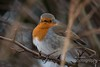 Robin (PaulAdams_Photos) Tags: snow ice canal canalbasin narrowboats boats boat barge barges water frozen snowing bike bicycle bench winter hat robin robinredbreast tree trees bramble bush buds photographer photo photographers sit sitting loch lock camera cameras canon70d sony nikon lens primelens telephotolens bird swan lake wings feathers feather beak bill fly seagull seagulls gull gulls buoy buoys float floats rope wet slippery abandoned hut reeds ducks feed cold branches branch perch perches perched sing birdsong bestphoto