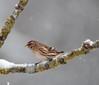 Redpoll (Colin Rigney) Tags: nature wildlife irishwildlife ireland colinrigney snowyweather snow gardenbirds birds avian outside outdoors branch redpoll canon