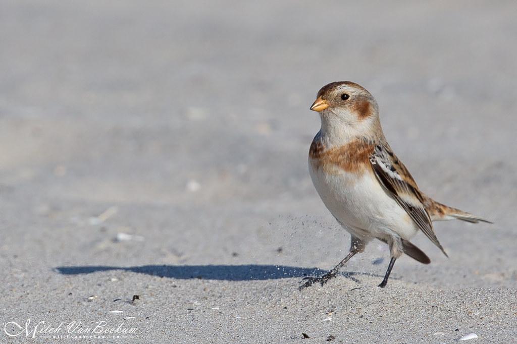 """Draw a Line in the Sand"" (Snow Bunting)"