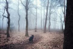 A misty morning walk (Jos Mecklenfeld) Tags: totoro dutchshepherd dutchshepherddog hollandseherder hollandseherdershond shepherd shepherddog herdershond herder forest bos mist fog sonyxperiaz5 xperia