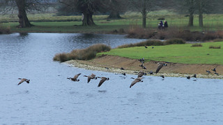 A Gaggle of Geese & A Covert of Coots..