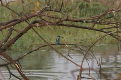 Common Kingfisher (tim ellis) Tags: keoladeonationalpark holiday bird kingfisher commonkingfisher alcedoatthis bharatpur rajasthan india