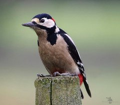 Great spotted woodpecker (Simon Dell Photography) Tags: great spotted woodpecker bird nature wildlife uk england derbyshire sheffield post high detail close up simon dell photography