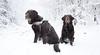 Thuringerwald (Dld) (jopieborst) Tags: thuringerwald bos sneeuw honden labrador