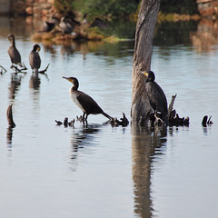 Comorants (hawaza) Tags: bird birds comorant comorants riaformosa algarve portugal lake tree