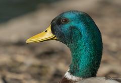 Mallard Drake (Anas platyrhynchos) (Don Dunning) Tags: anasplatyrhynchos animals birds california canon100400mm canon7dmarkii duck lakeshorepark mallard newark unitedstates