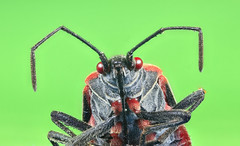 Boxelder bug (Xuberant Noodle) Tags: macro big boisea box boxelder bright bug close closeup elder entomology eye face facet faceted flash hair hairy high insect large light magnification magnified microscope multi multifaceted res resolution stink stinkbug studio trivittata up zoom zoomed