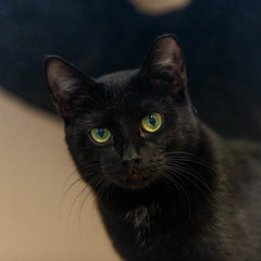 Endora27Jan201816.jpg (fredstrobel) Tags: pawsatanta atlanta places pets animals ga usa pawscats cats decatur georgia unitedstates us
