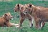 Three little Lions - Drei kleine Löwen (Noodles Photo) Tags: pantheraleo löwe lion lioncubs carnivora feloidea felidae pantherinae panthera groskatze raubtier safariparkbeeksebergen beeksebergen niederlande netherlands canoneos7dmarkii ef100400mmf4556lisusm